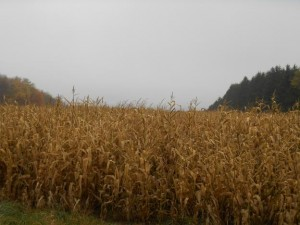 Scenic corn fields along the drive to letchworth state park